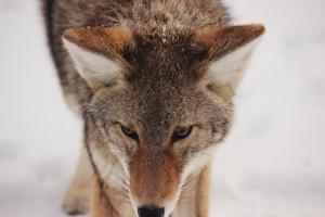 Wolf Haftpflicht Jagd Versicherung